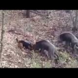 Domuz Av Köpeği