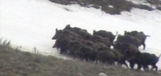Domuz Avı Türkiye