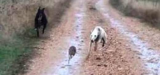 Köpekler tavşanı yakalamaya calışıyor