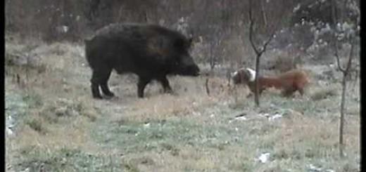 Posavac Baljo-d.svinja