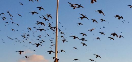 TN River Boys: North Dakota Dry Field Duck Hunt