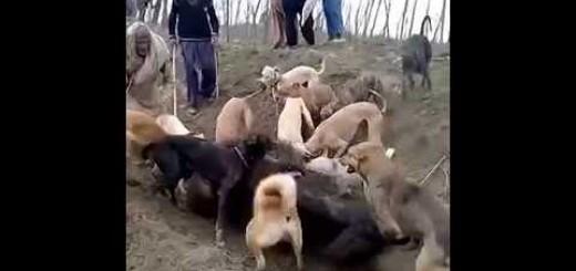 Araziye Dalan Domuza Çoban Köpeği Saldırısı