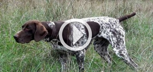 av-k-pe-i-e-itimi-hunting-dog-training-720x340