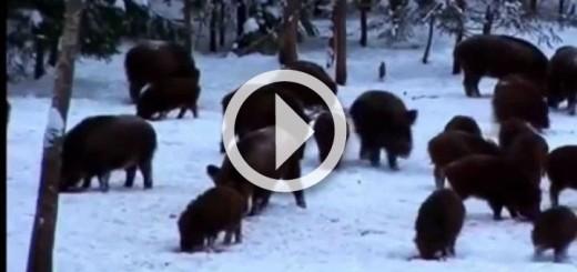 en-yi-domuz-av-top-best-wild-boar-720x340