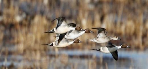 Mükemmel Ördek Avı-Excellent Duck Hunting