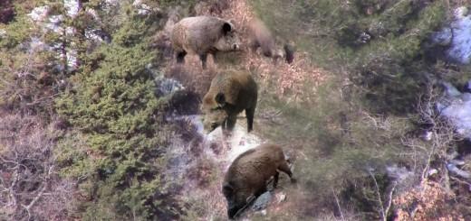 Wild Boar Hunting-Bol Aksiyonlu Domuz Avı