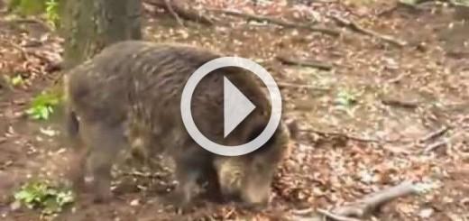 avc-lara-domuz-sald-r-lar-wild-boar-attacks-720x340