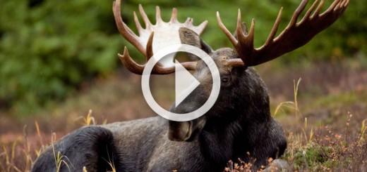 moose-hunting-2015-720x340