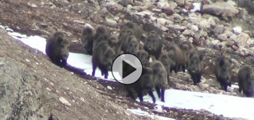 wild-boar-hunting-turkey-720x340