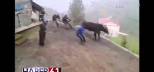 3 Peoples Back Bull-Boğa 3 Kişiyi Kaçırdı