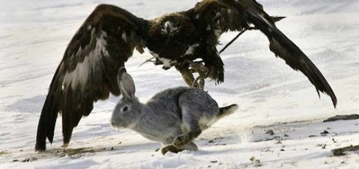 Golden Eagle  vs Rabbit-Kartalla Tavşan Avı