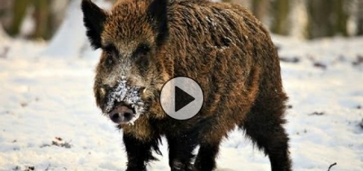 hunting-giant-wild-boar-720x340