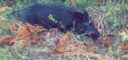 Wild Boar Hunting 2015 Domuz Avı 2015