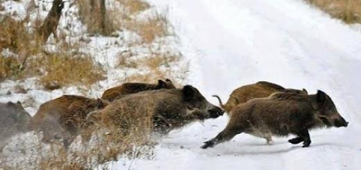 Wild Boar HUnting Domuz Avı Karda