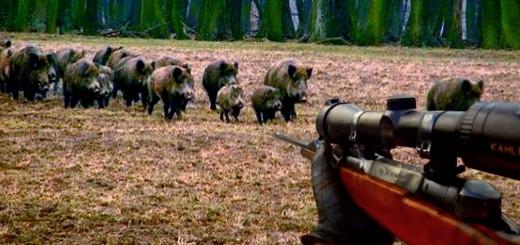Wild Boar Hunting -Domuz Sürüsü Av
