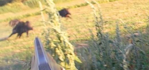 Wild Boar Hunting From Turkey