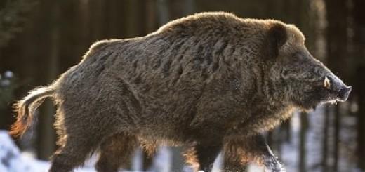 Best OF Wild Boar Hunting-En İYi Domuz Avı