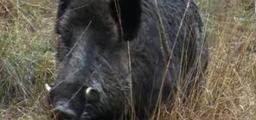 Hunting British wild boar