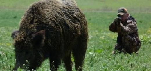 Hunting Giant Wild Boar