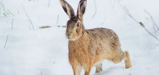 snow rabbit hunting (Tavşan Avı 2015 Karda Kopayla)