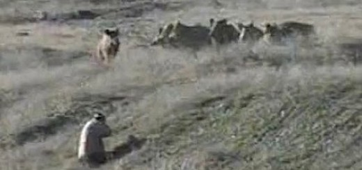 The importance of smell in pig hunting