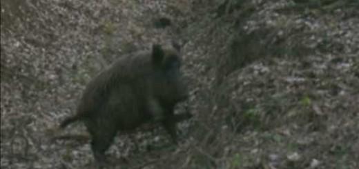 Wild boar hunt (Yaban domuzu avı)