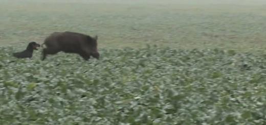 dog catching swine behind