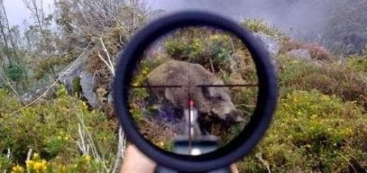 Caza de jabalí. Las mejores batidas / Wild Boar hunting best moments compilation