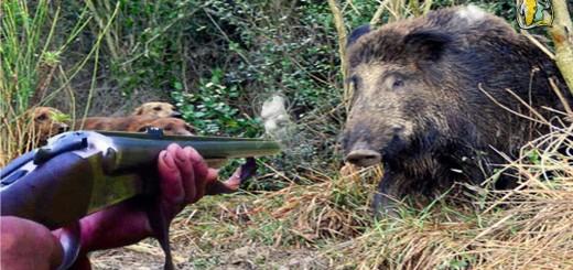 Chasse Sanglier  Wild Boar Hunting  inkompetenta jägare epäpätevä metsästäjät