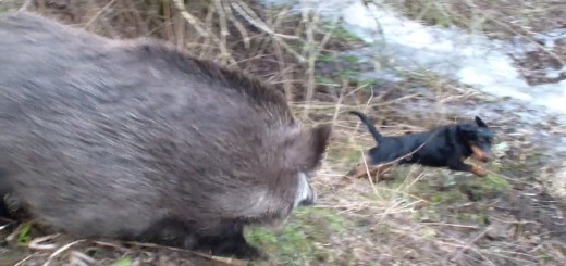 dog and boar attack (свинина атакующий собака)