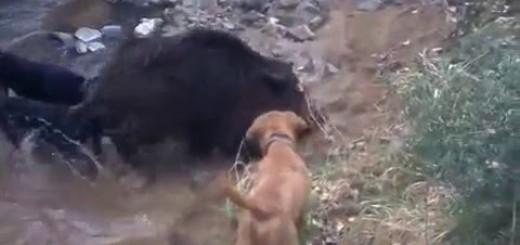 Domuz avı will boar hunting