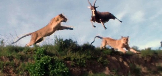 Leaping Lion Catches Antelope In Mid-Air Attack   lejon angrepp