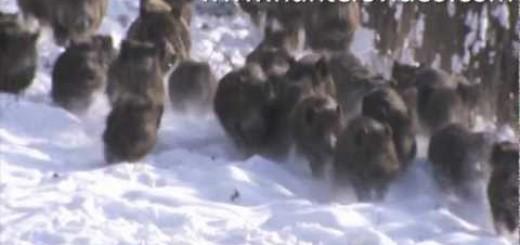 Wild Boar Fever     Domuz sürüsü..