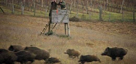 Wild Boar Hunting Chasse Sanglier  (Villisika Metsästys) Wildschweinjagd