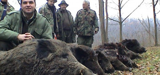 Wild boar hunting Hunt villisika   Chassent le sanglier