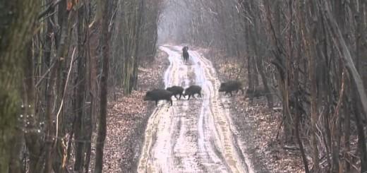 Wildboar Driven Hunt chasse au sanglier   vildsvin jagt  villisika metsästys