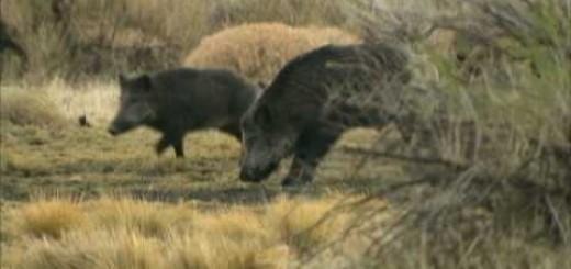 wild boar hunt  vildsvinsjakt  caccia al cinghiale  лов на дива свиня  vaddisznó vadászat     Wildschweinjagd