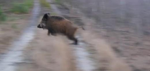 Wild Boar hunting best moments compilation Polowanie najlepsze momenty Drückjagd Wildschweinjagd