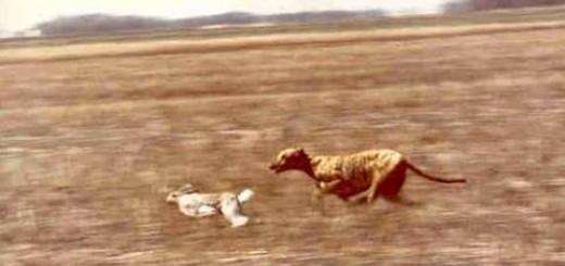Dogs Hunting Rabbit-Köpek Tavşanı Avlıyor