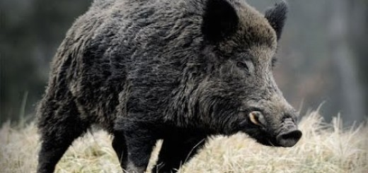Domuz Avı 2016 Wild Boar Fever 2016