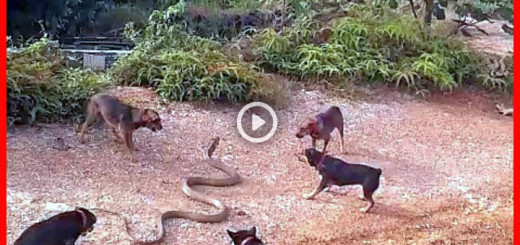 dogs-vs-snake-fight-to-death-k-pekler-y-lanlara-kar-720x340