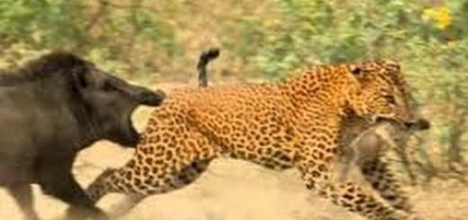 Wild Boar vs Leopard